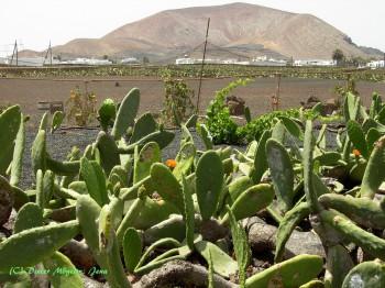 Kaktusfelder auf Lanzarote
